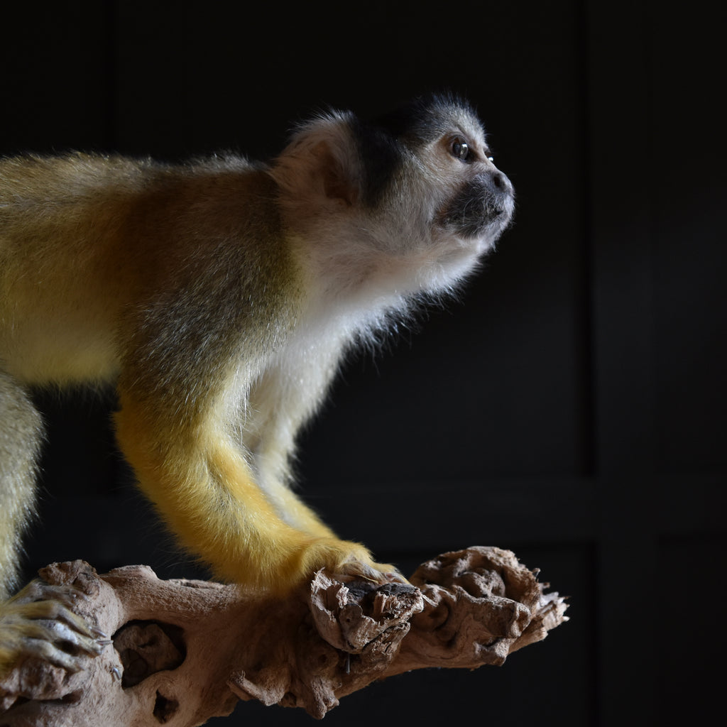 Outstanding Taxidermy Squirrel Monkey. (Saimiri Sciureus).