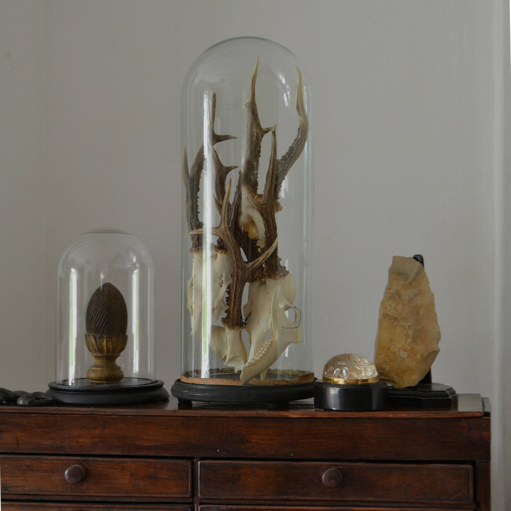 Roe Deer Antlers Displayed in a Victorian Glass Dome.