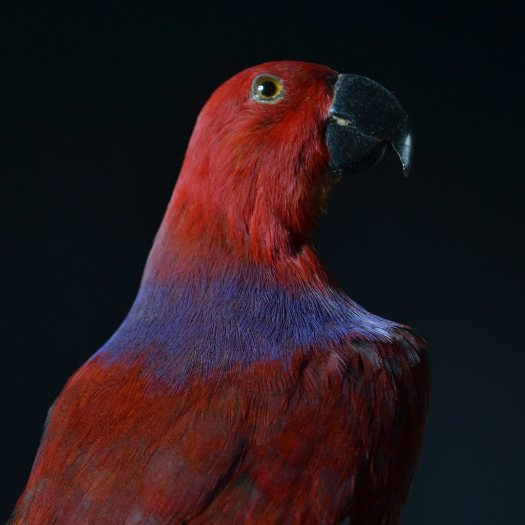Taxidermy Eclectus Parrot Displayed in Victorian Glass Dome. (Eclectus Roratus)