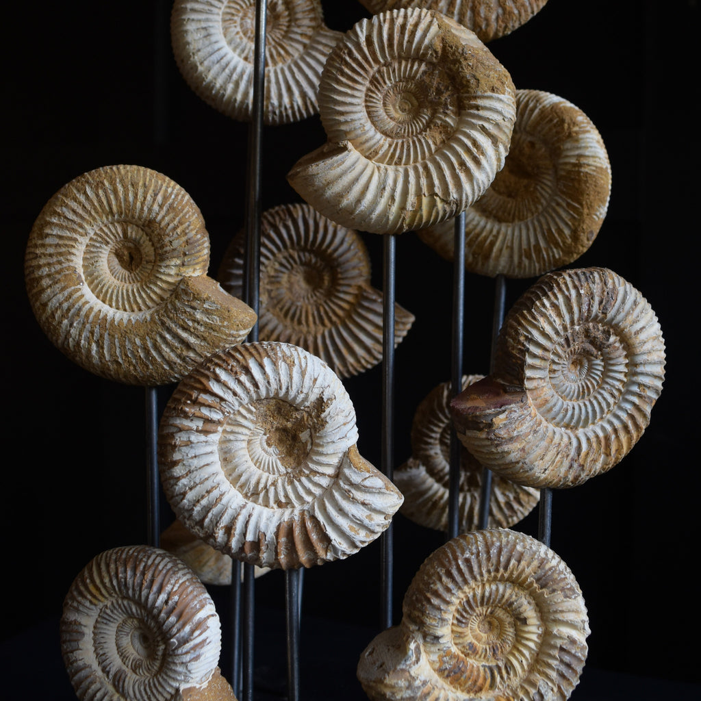Beautiful Collection of Ammonite fossils Specimens in Victorian Glass Dome.'SOLD'