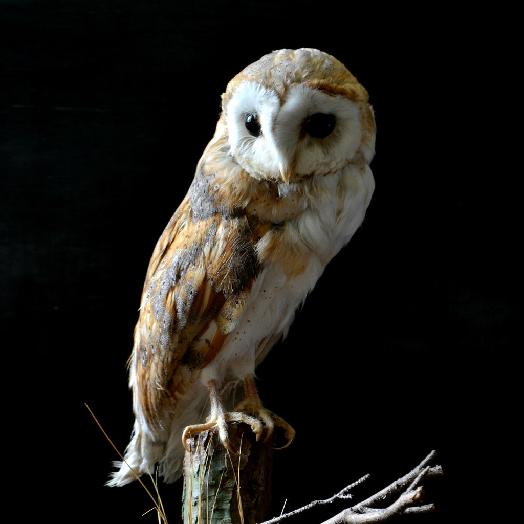 Vintage Barn Owl in Glass Case
