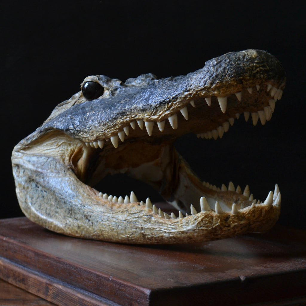 Superb Vintage Mounted Taxidermy Alligator Head.