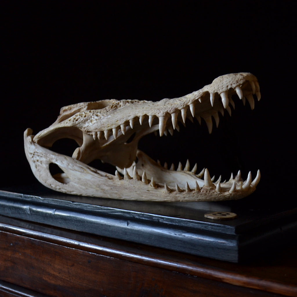 Mounted Fresh Water Crocodile Skull, (Crocodylus Sisamensis)