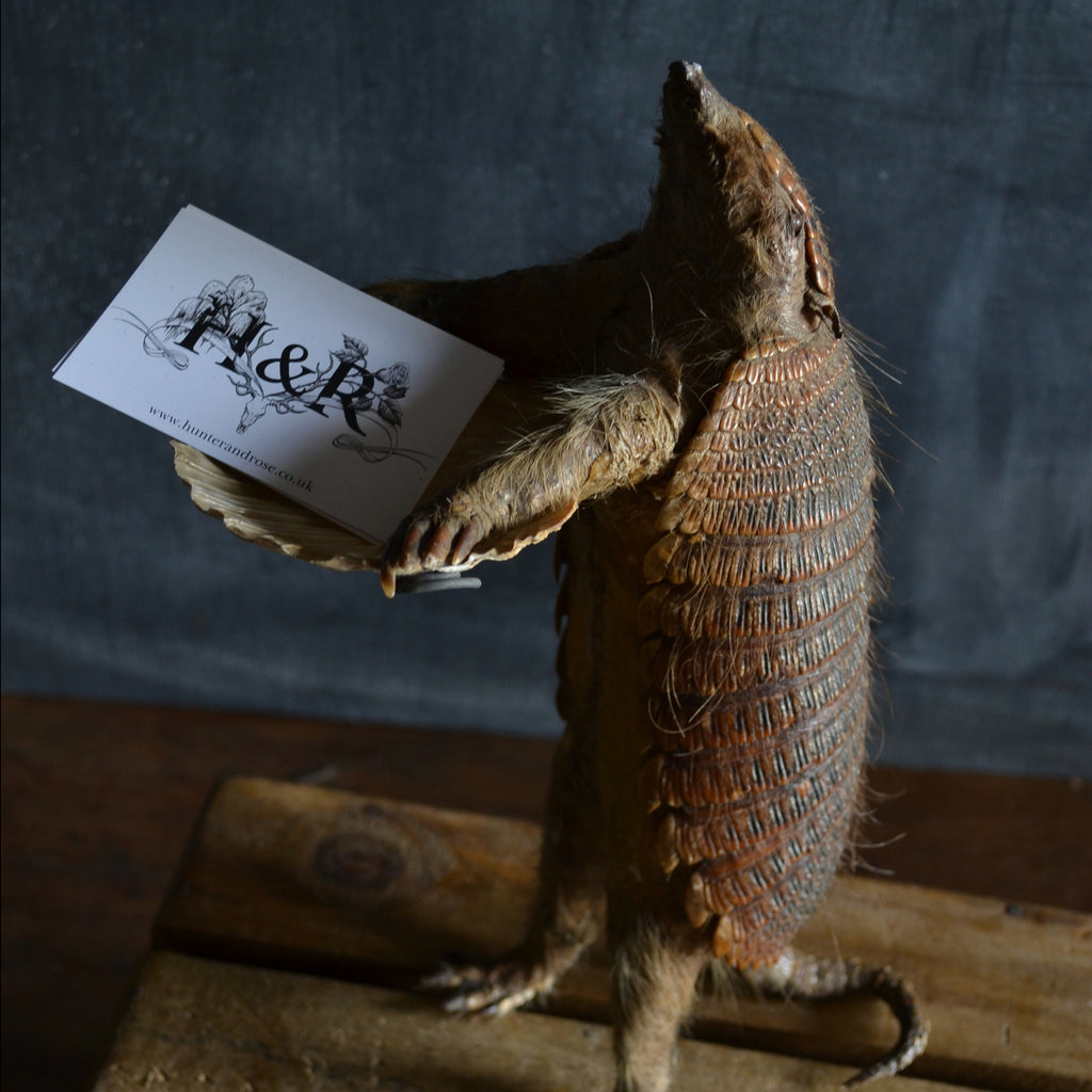 Victorian Taxidermy Hairy Armadilo 'SOLD