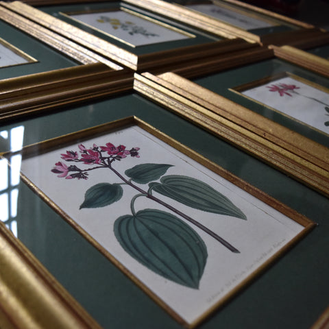 Set of Eight Framed Georgian Hand Coloured Botanical Engravings - William Curtis, London 1794-1815