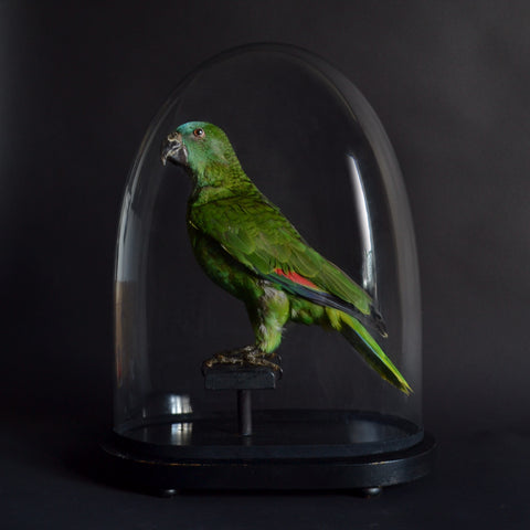 Vintage Blue Fronted Amazon Parrot Mounted in Victorian Glass dome, (Amazona aestiva).