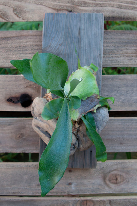 Driftwood Staghorn Small
