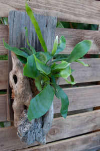 Driftwood Staghorn Medium