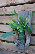 Load image into Gallery viewer, Driftwood Staghorn Medium