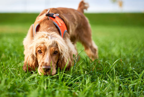 Sniffing grass on a walk