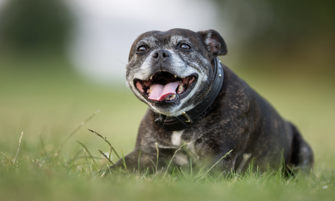Food for Senior Dogs