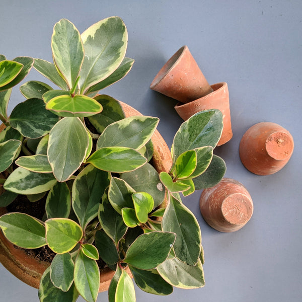 Terracotta Pots Can Save Your Plants