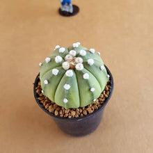 Load image into Gallery viewer, Astrophytum Asterias Ooibo