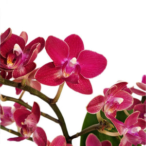 Phalaenopsis Orchid Red