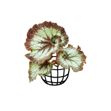 Load image into Gallery viewer, Begonia 'Curly Fireflush' (Begonia rex hybrid) - soiled.in