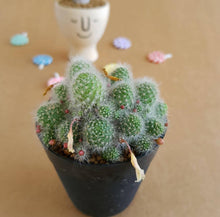 Load image into Gallery viewer, Rebutia Albispina