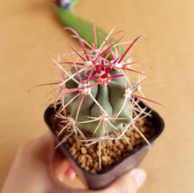 Load image into Gallery viewer, Ferocactus emoryi - soiled.in
