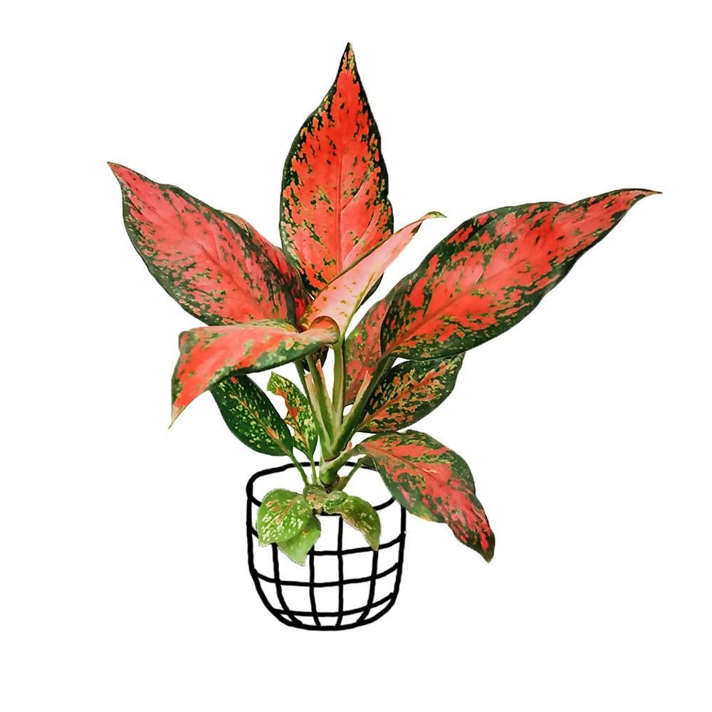 Aglaonema 'Pink Dud' - soiled.in