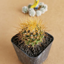 Load image into Gallery viewer, Mammillaria Nivosa