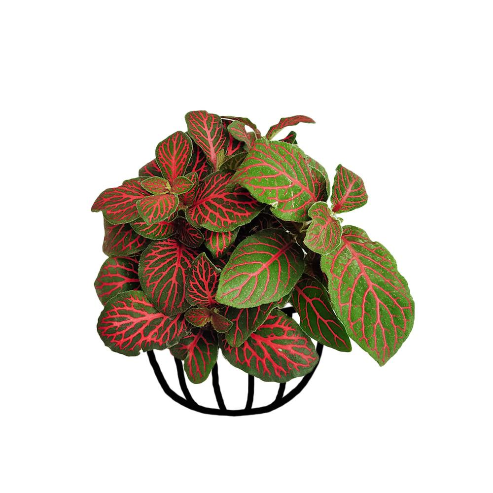 Fittonia 'Mini Red Vein' - soiled.in