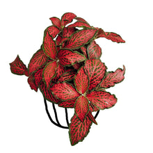 Load image into Gallery viewer, Fittonia 'Red Anne' - soiled.in