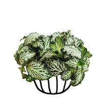 Load image into Gallery viewer, Fittonia 'Mini White' - soiled.in