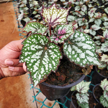 Load image into Gallery viewer, Begonia 'Jurassic Green Streak' (Begonia rex hybrid) - soiled.in