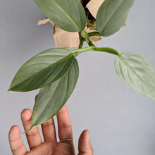 Load image into Gallery viewer, Philodendron Hastatum