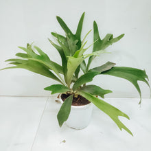 Load image into Gallery viewer, Staghorn Fern (Large)
