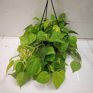 Philodendron Hederaceum 'Neon' (Large)