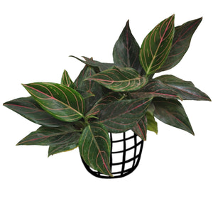 Aglaonema 'Rotunda Pink'