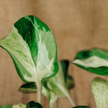 Load image into Gallery viewer, Manjula Pothos - soiled.in