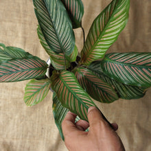 Load image into Gallery viewer, Calathea Ornata 'Sanderiana' - soiled.in
