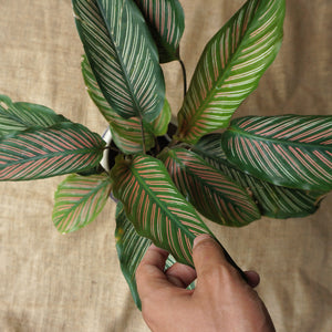 Calathea Ornata 'Sanderiana' - soiled.in
