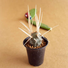 Load image into Gallery viewer, Tephrocactus Articulatus - soiled.in