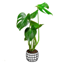 Load image into Gallery viewer, Monstera Deliciosa Buy In India Soiled