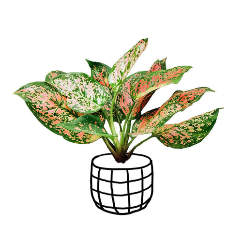 Aglaonema 'Ruby Pink' - soiled.in