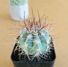 Load image into Gallery viewer, Melocactus Azureus (Blue Melo)