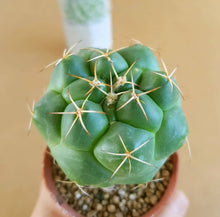 Load image into Gallery viewer, Coryphantha Elephantidens