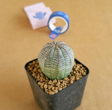 Load image into Gallery viewer, Euphoria Obesa (Seed Grown)