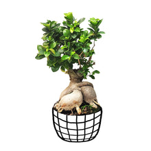 Load image into Gallery viewer, Ficus Bonsai