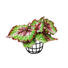 Load image into Gallery viewer, Begonia 'Merry Christmas' (Begonia rex hybrid) - soiled.in