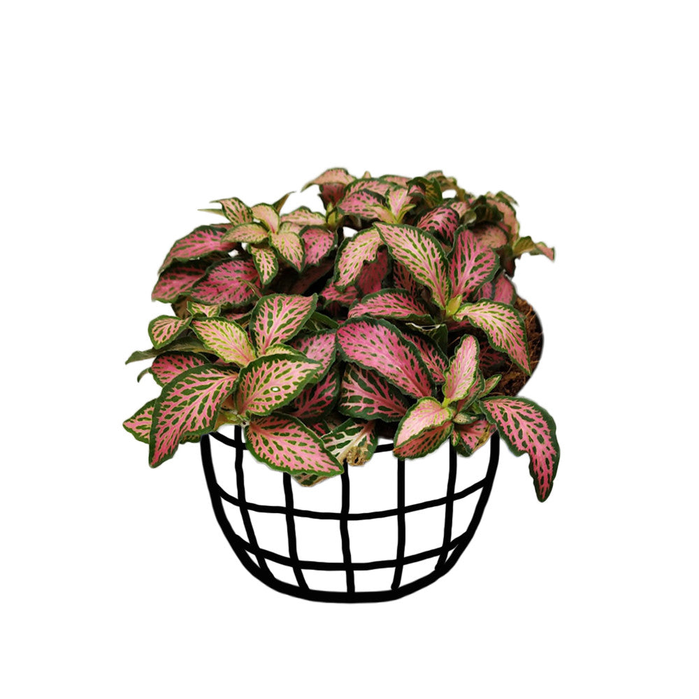 Fittonia 'Pink Angel' (Large)