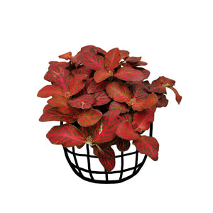 Fittonia 'Josan' (Large)