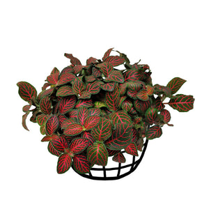 Fittonia 'Mini Red Vein' (Large)
