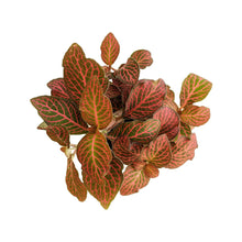Load image into Gallery viewer, Fittonia 'Josan'