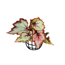 Load image into Gallery viewer, Begonia 'Raspberry Swirl' (Begonia rex hybrid) - soiled.in