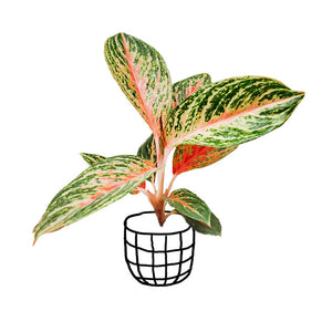 Aglaonema 'Red Peacock' - soiled.in