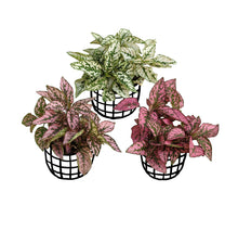 Load image into Gallery viewer, Polka Dot Plant (Combo of 3)