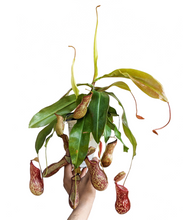 Load image into Gallery viewer, Pitcher Plant (Nepenthes Gaya Buddha)